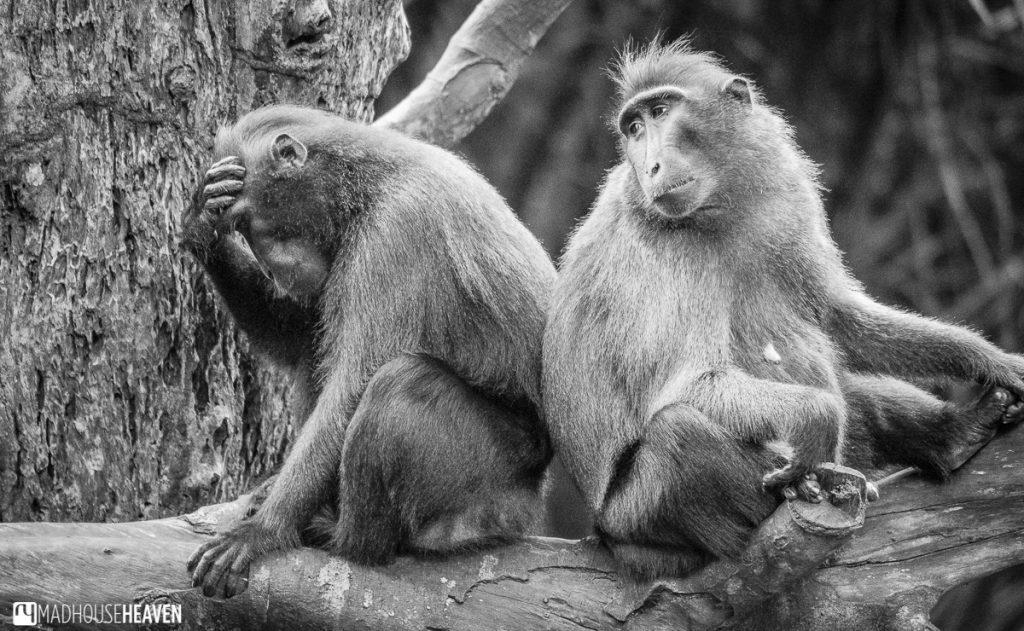 Celebes Sulawesi monkeys - Animals in the Singapore Zoo