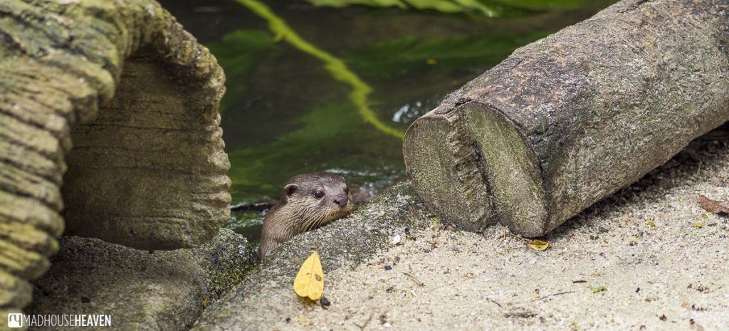 thoughful otter resting on riverbank