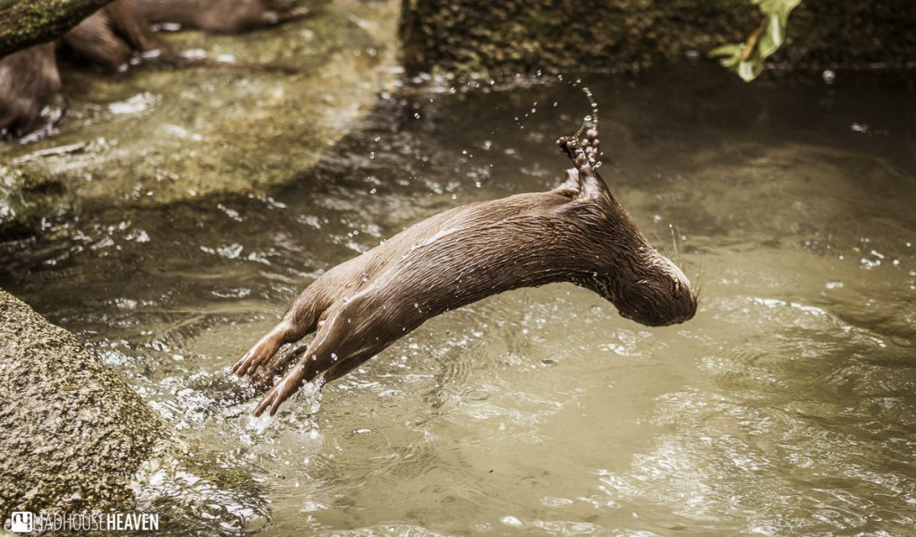 Otter backflipping into its moat - Animals in the Singapore Zoo
