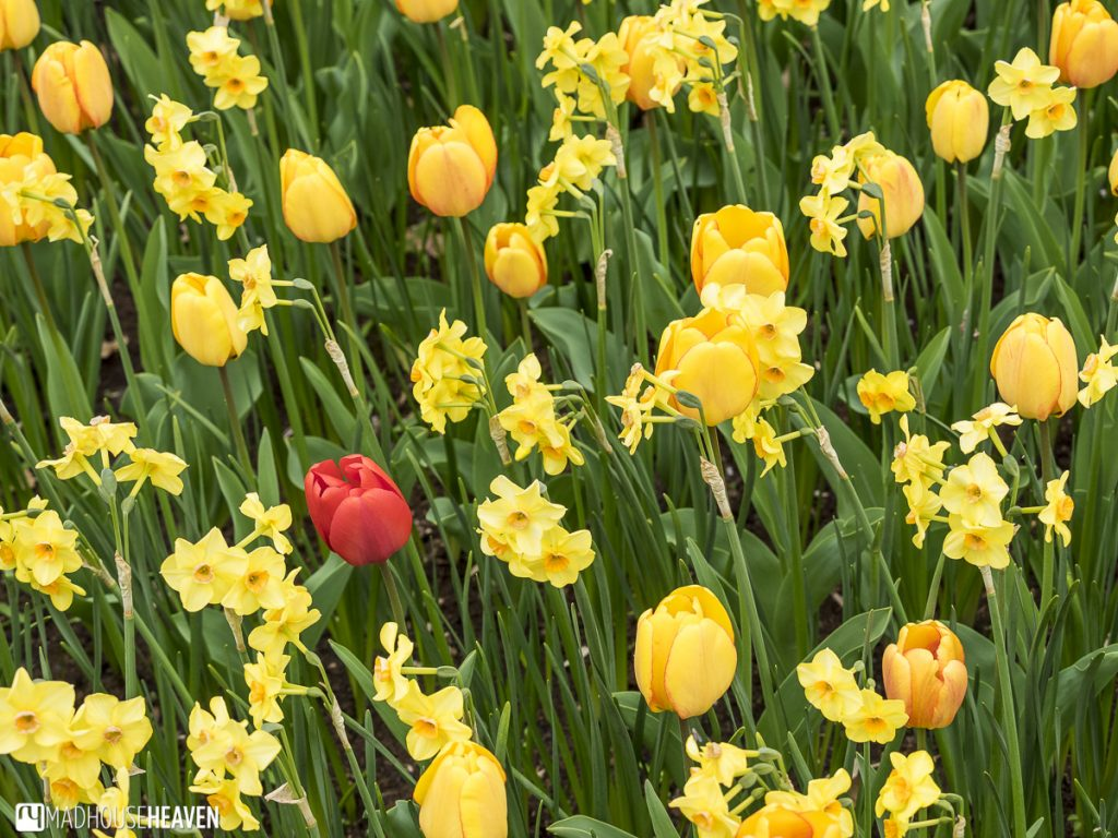 keukenhof photography red tulip against green grass and yellow flowers