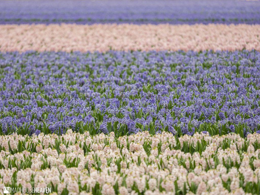 hyacinths at keukenhof
