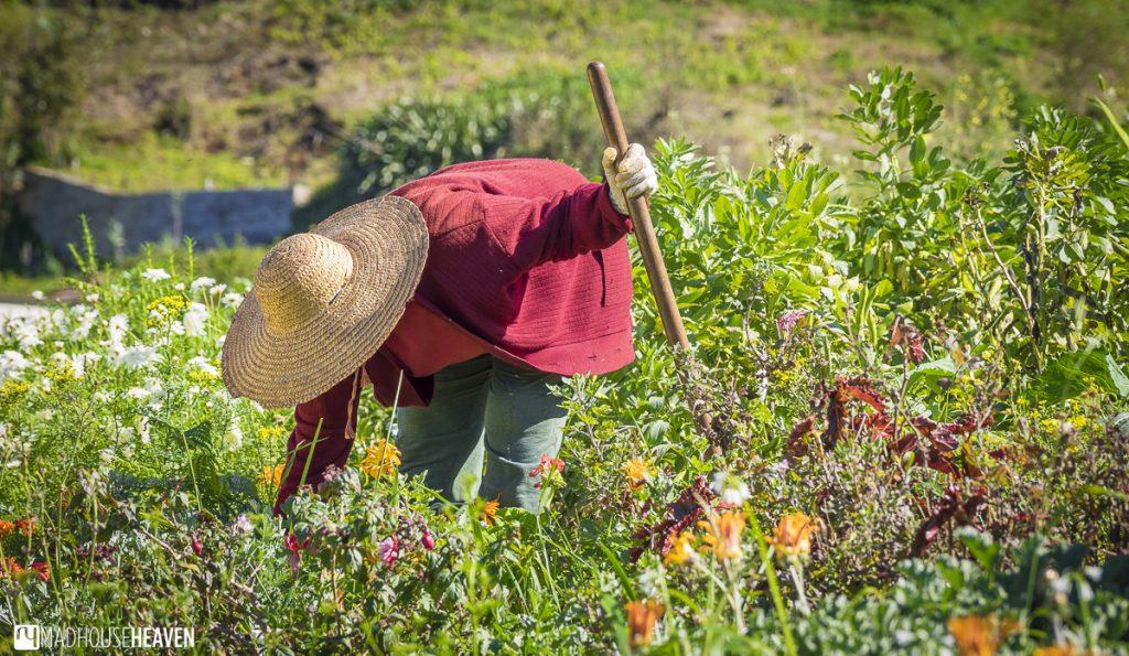 madeira levada walk among orchard