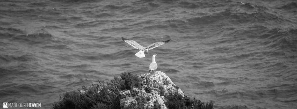 seagulls, black and white, ocean