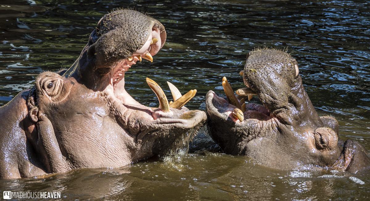 hippo mammal clash water animal wild tusk