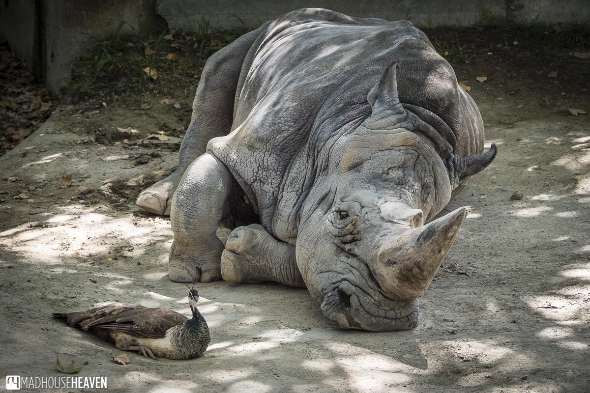 rhino unicorn endangered mammal horn zoo parc barcelona