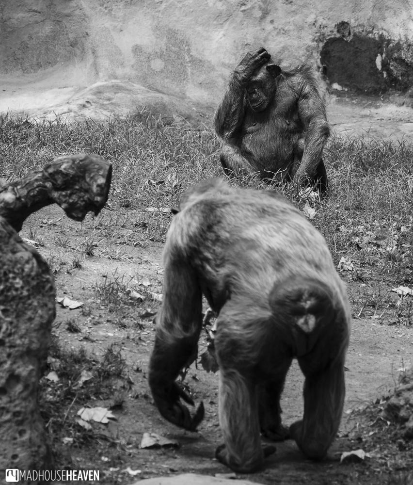 ape chimp chimpanzee black white comic candid mammal human barcelona zoo park