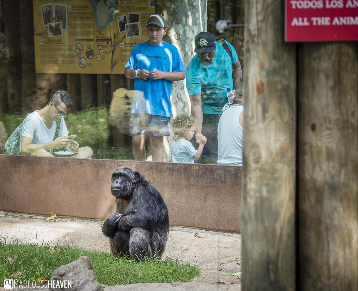 ape chimpanzee mammal chimp human cage zoo barcelona park