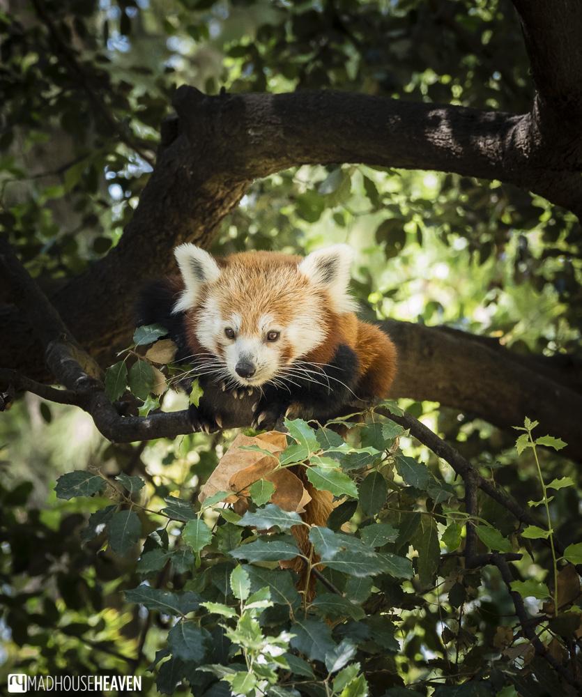red panda mammal cute tree barcelona zoo park