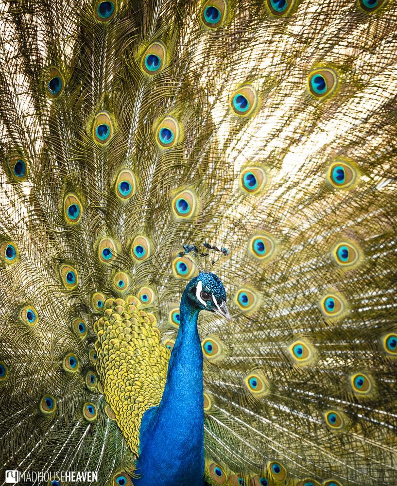 bird feathers plumage peacock fan colourful park barcelona zoo