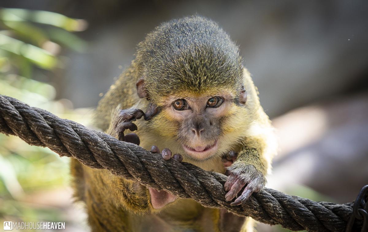 pigmy marmoset monkey primate barcelona zoo park