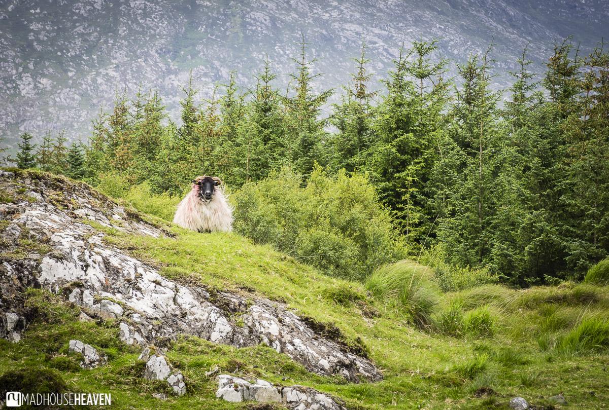 Ireland, Galway, Connemara, sheep in green field with pine firs behind