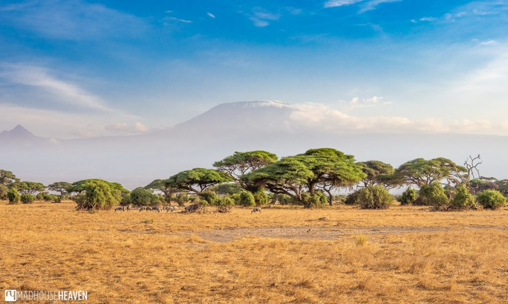 The peak of Kilimanjaro seen behind yellow dry grasses and acacia trees