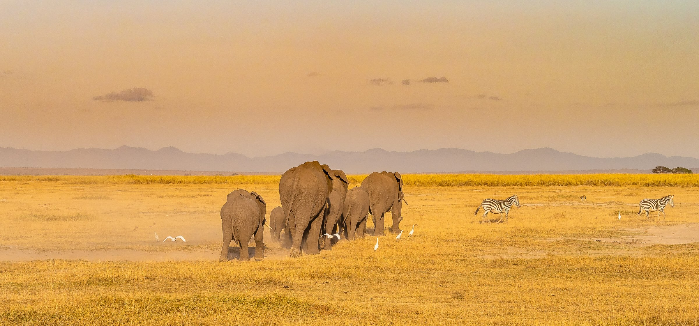 Elephants walking on grassland into the distance