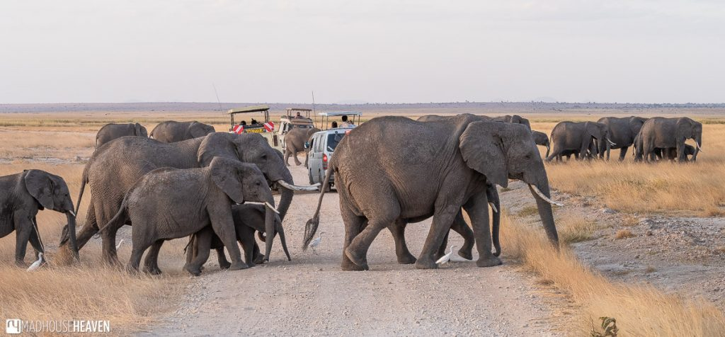 Elephants crossing the road in the Amboseli National Park in Kenya, Africa