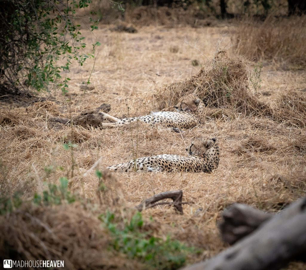 Two cheetahs resting in the yellow grasses of Amboseli