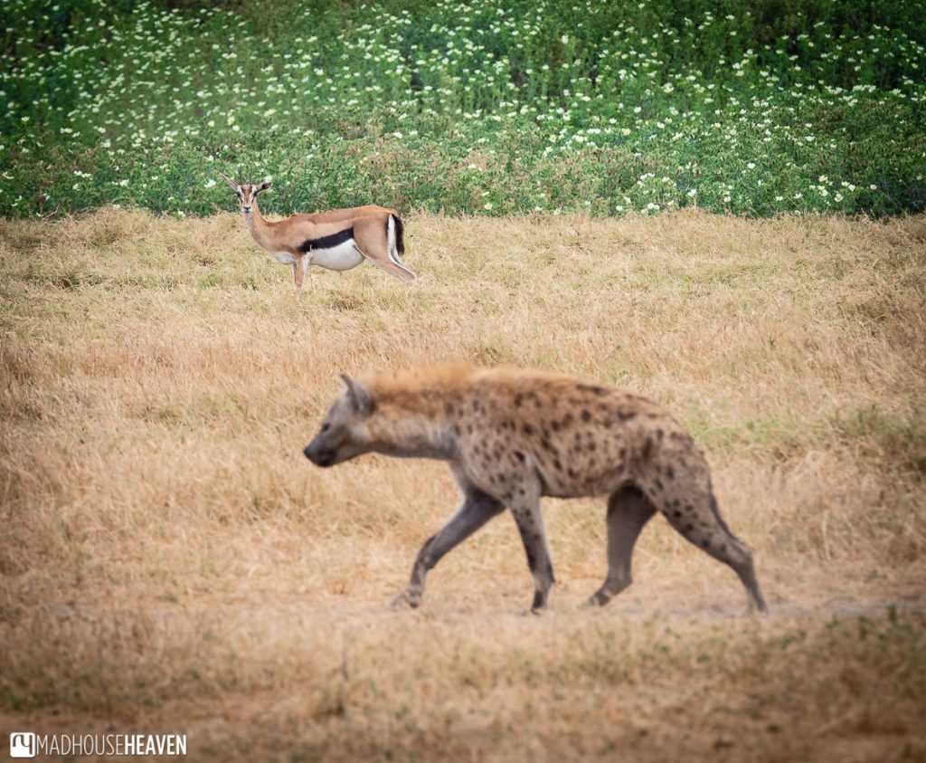 A pregnant gazelle carefully observing the passing hyena in the grassland of Amboseli