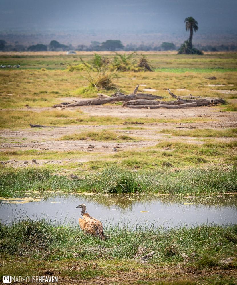 A lone vulture at a waterhole in a flat savannah