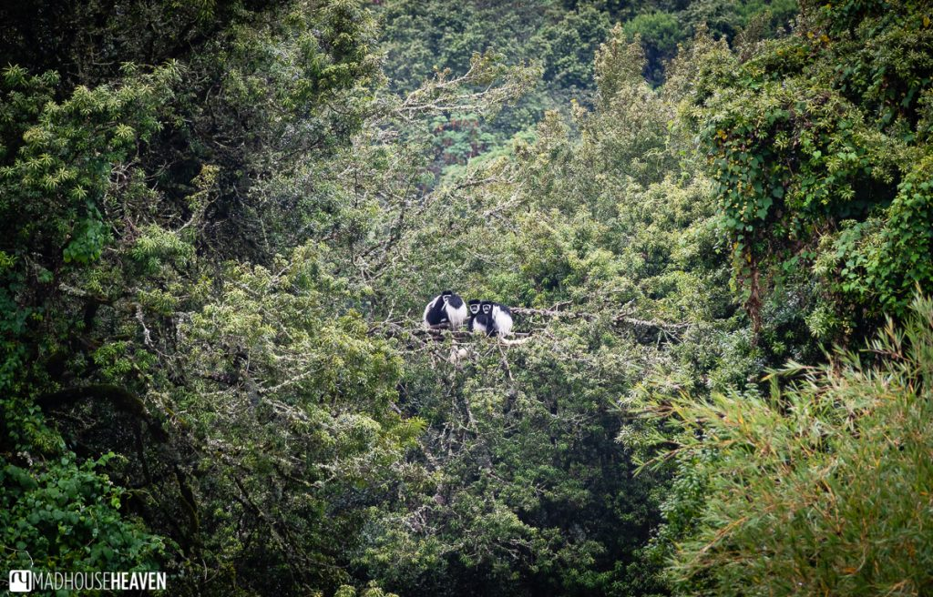 A family of black-and-white colobus monkeys siting atop a distant tree in the jungle