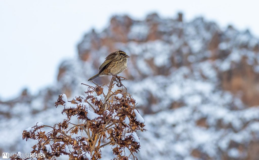 A little bid sits on top of a bush on the snow covered slopes of Mount Kenya