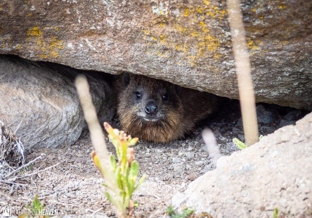 Rock hyrax hiding under a rock