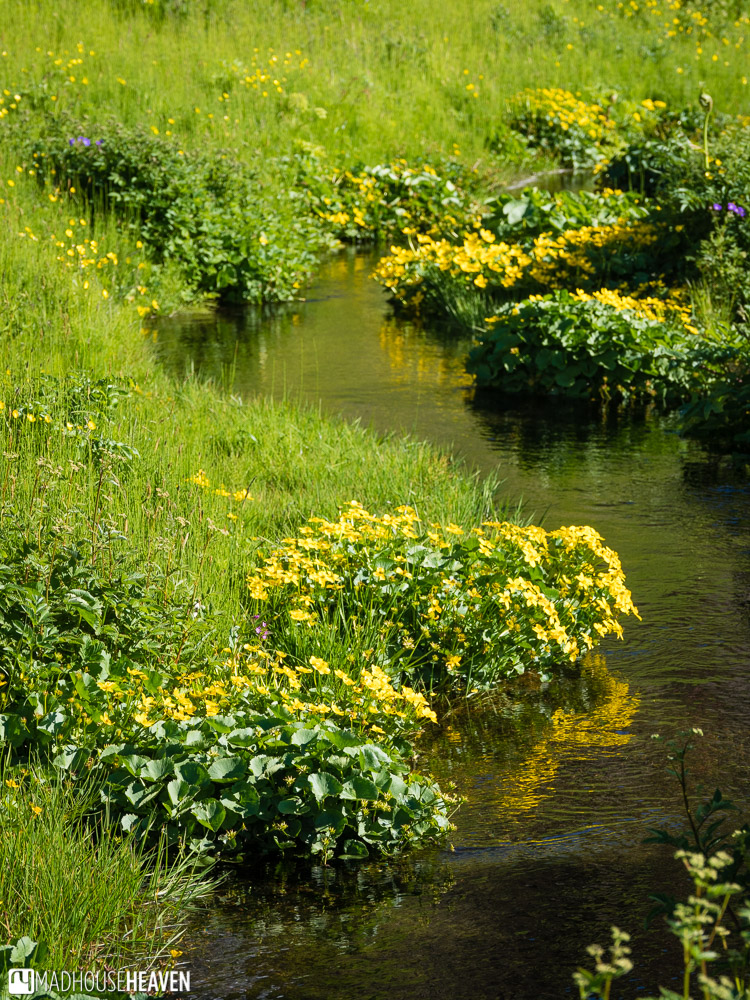 Patch of bright yellow flowers, reflected in a little stream
