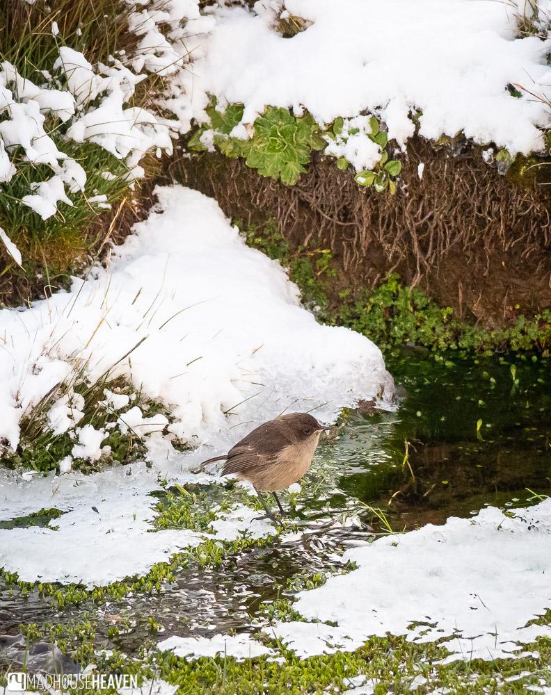 A fluffy bird on a snow covered mount Kenya
