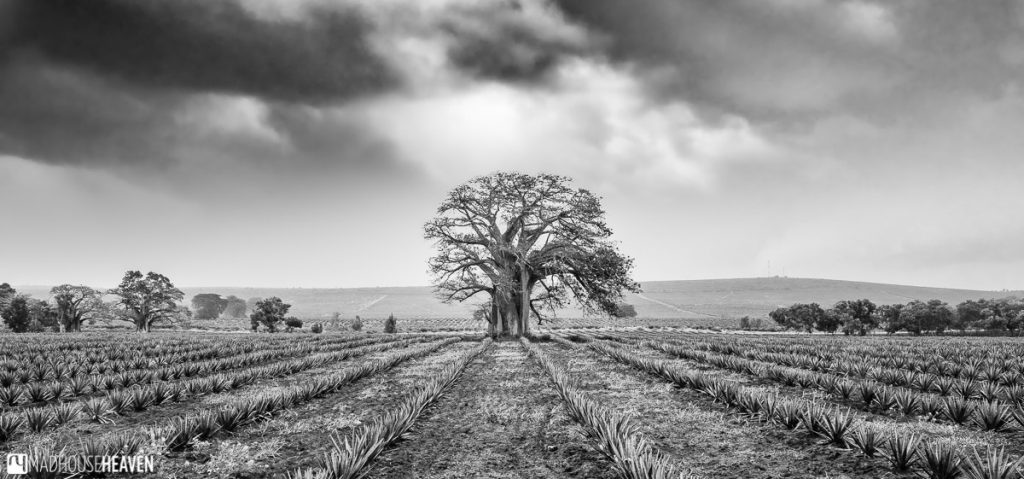 Black and White Photo of a Lone Baobab, near Mombasa, Kenya