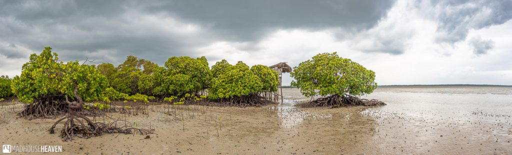 Panorama of Mangrove Forest in Mida Creek, Kenya