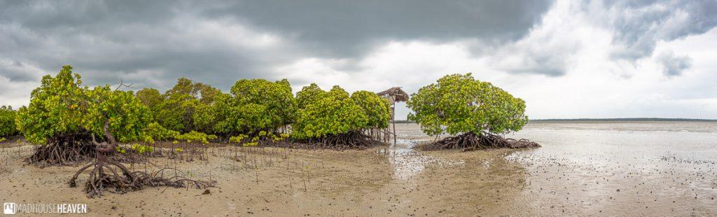 Mangrove trees growing on a mudflat on Kenya's coast