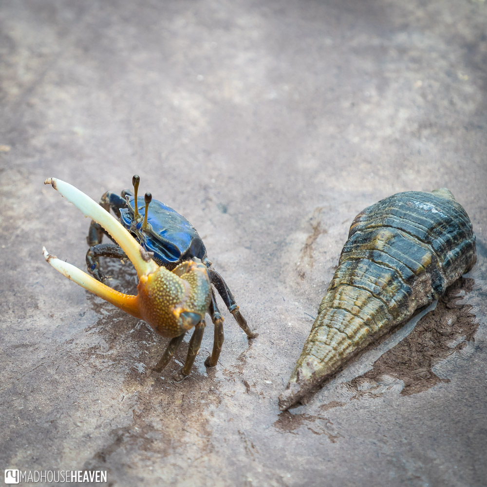 Snail and a Blue Fiddler Crab in Mida Creek, Kenya