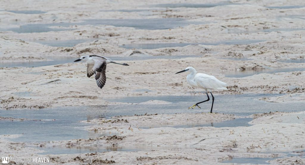 The sand plover in flight with a heron walking behind, on a mud flat