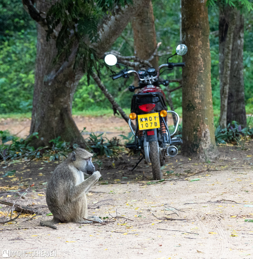 Lone Baboon by a Motorcycle at the Entrance to the Arabuko Sokoke Forest