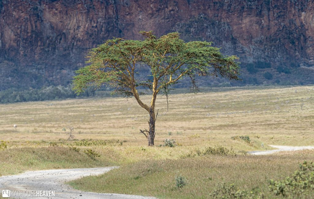 Lone tree on the main road through Hell's Gate National Park