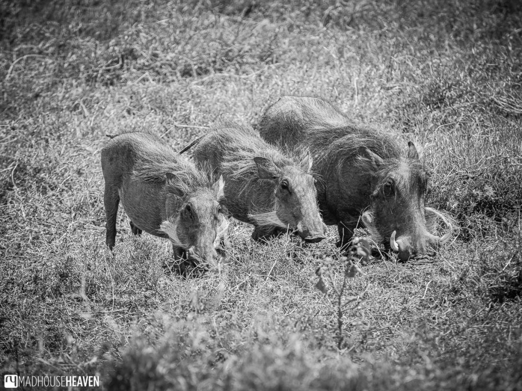Black and white image of a group of warthogs in the Hell's Gate National Park that were literally just off the road