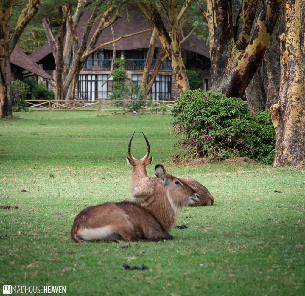 Two waterbucks resting on the grass in the garden of the Lake Naivasha Sopa Lodge