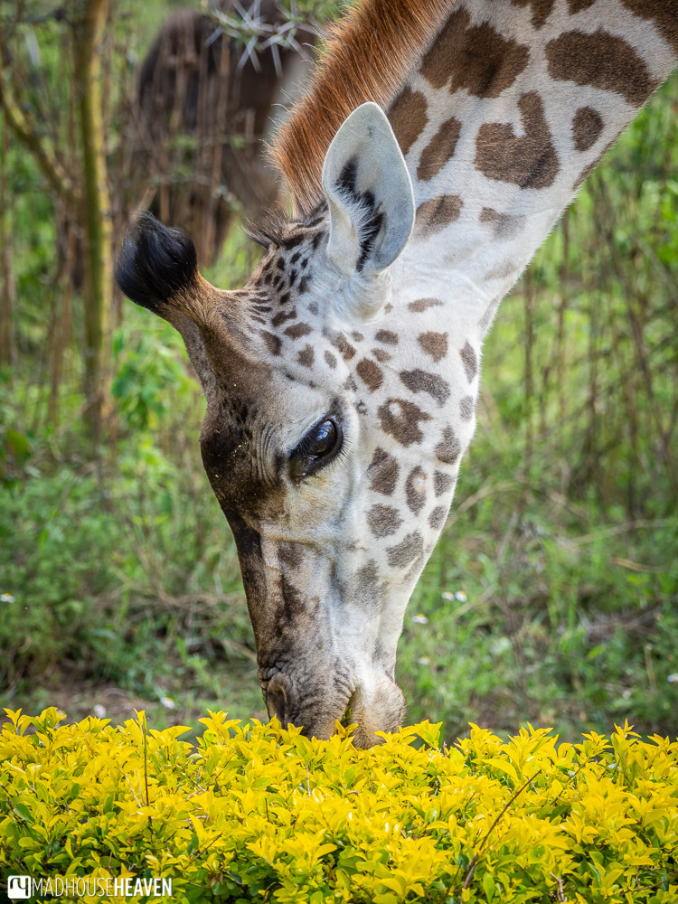 A giraffe bends down to eat yellow flowers from a bush