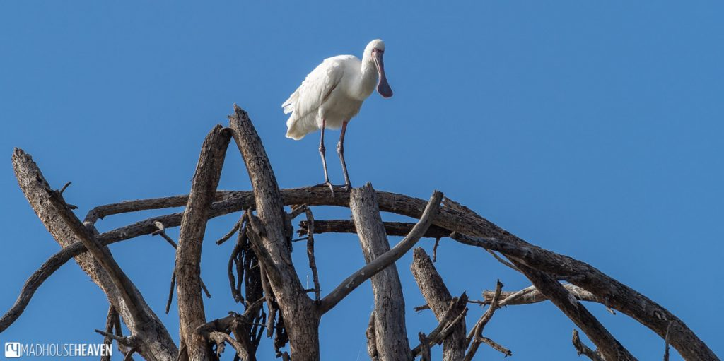 Spoonbill standing on dry branches above Lake Naivasha