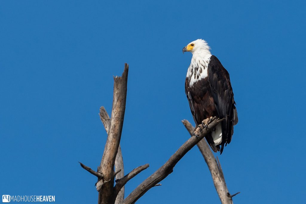 African fish eagle on top of a dead tree