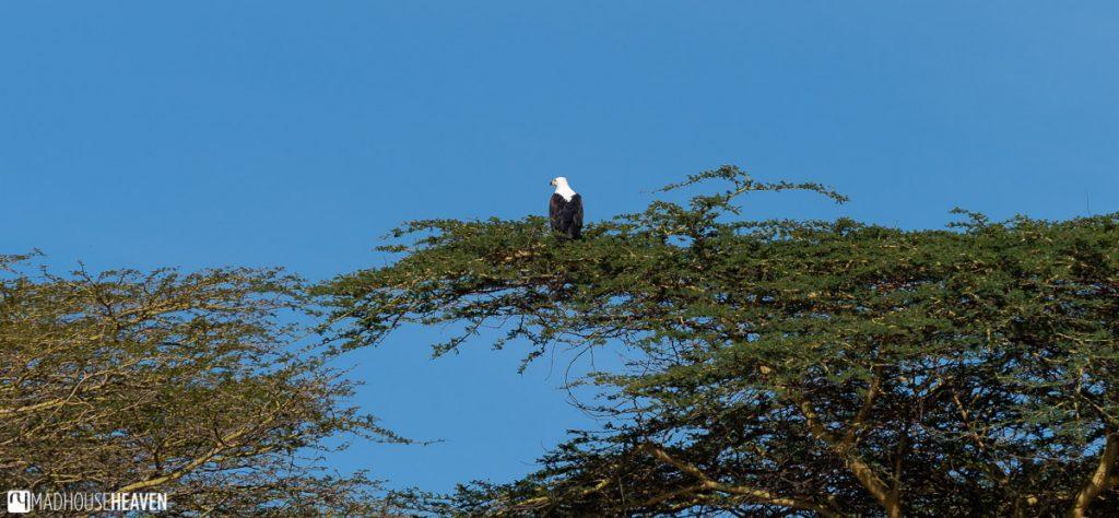 African fish eagle sitting atop an acacia tree