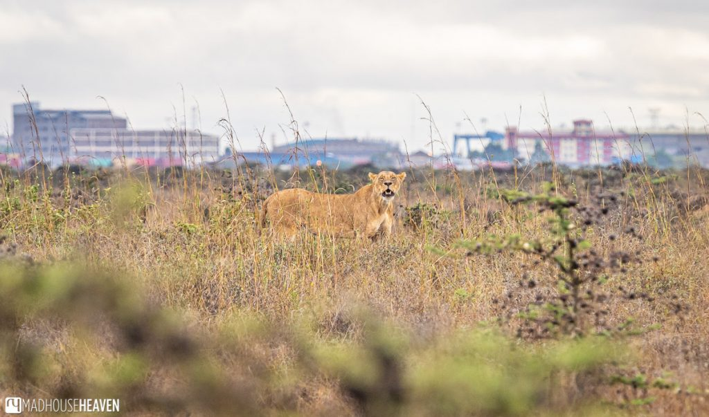 Lioness in the Nairobi National Park, with Nairobi apartment blocks in the background