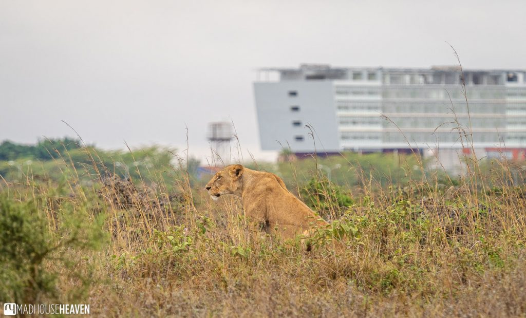 Solitary lioness in the tall grass, in the Nairobi National Park, Kenya