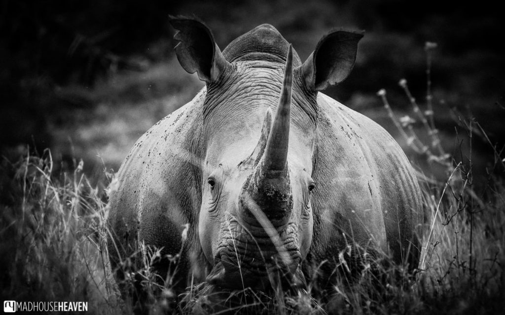 Black and white image of a female rhino, up close, in the Nairobi National Park, Kenya