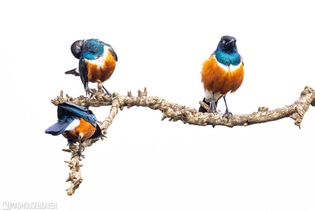 Three orange and blue superb sterlings sitting on a branch