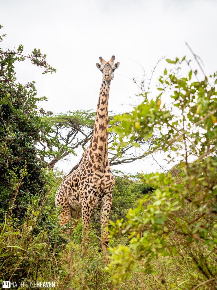 Lone Masai Giraffe with its very characteristic skin pattern