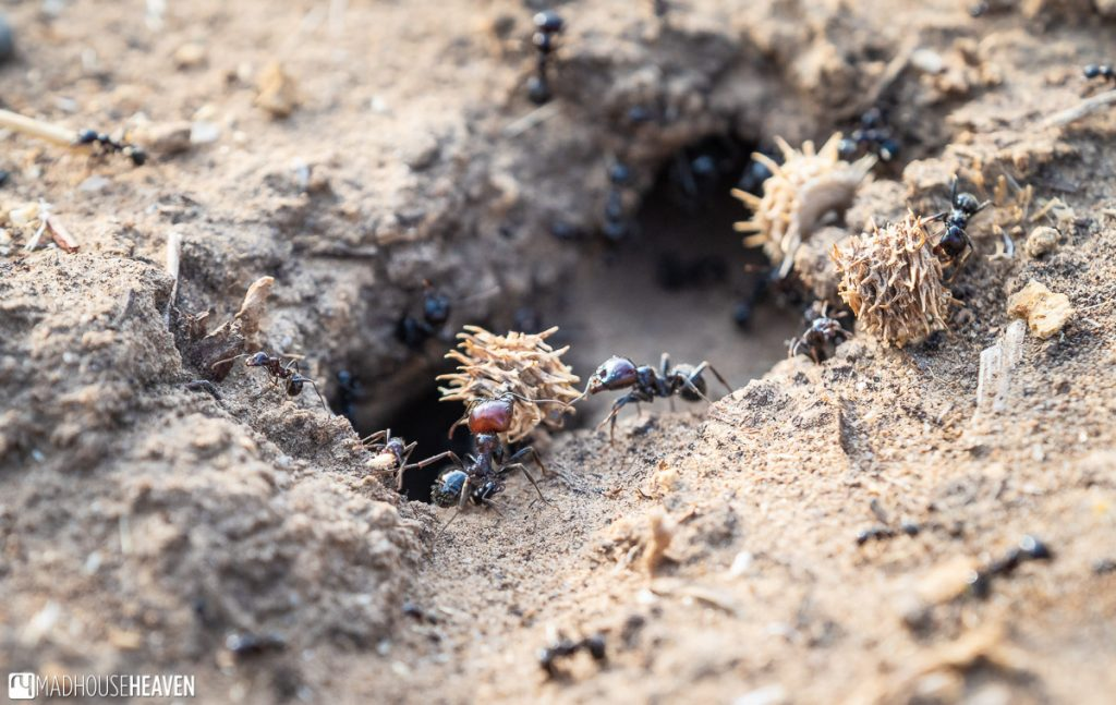 Ants taking dried plant matter into their nest