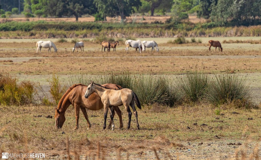A horse and her calf on a field of dry grass in the Doñana National Park in Southern Spain