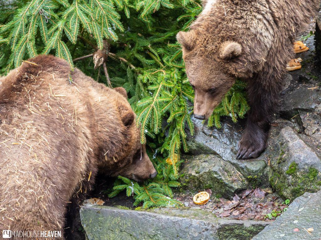 Bears of Krumlov castle picking on some leftover orange