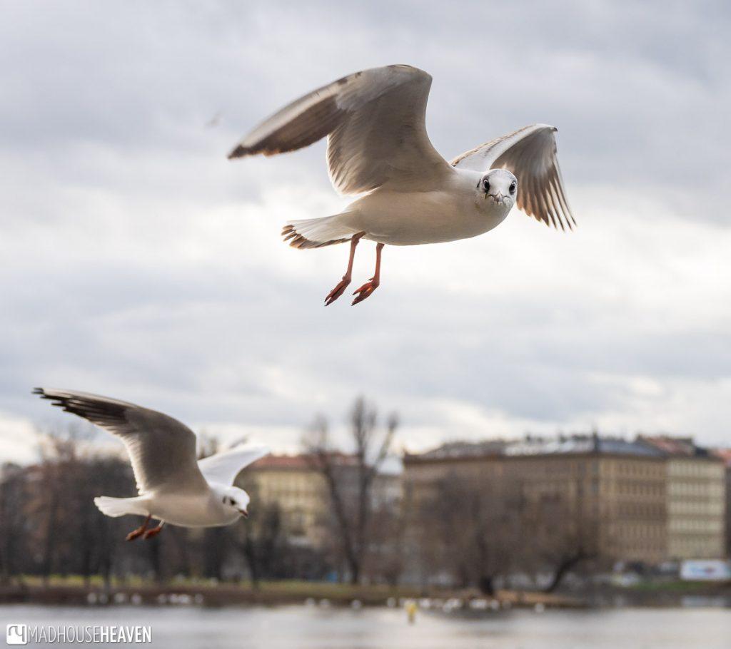 Seagulls flying above the Vltava near Charles Bridge