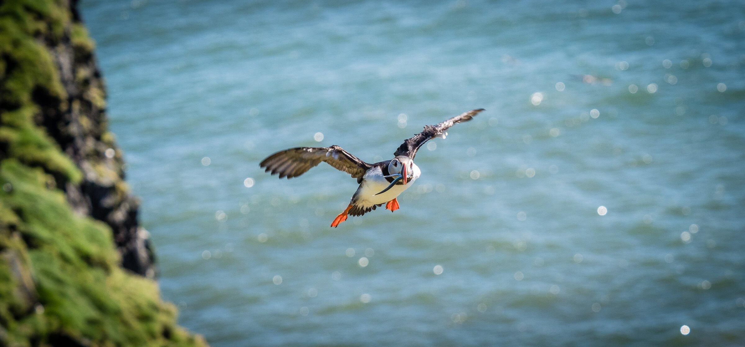flying puffin with fish in beak, in Iceland