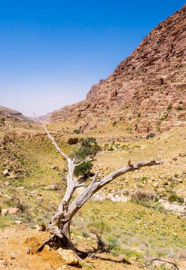 Dry Tree in Dana Valley, Jordan